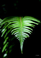 Coastal Wood Fern