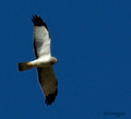 Male Northern Harrier (gray ghost)