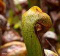 Darlingtonia (pitcher plant)