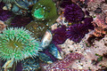 Giant Green Anemone & Purple Sea Urchins
